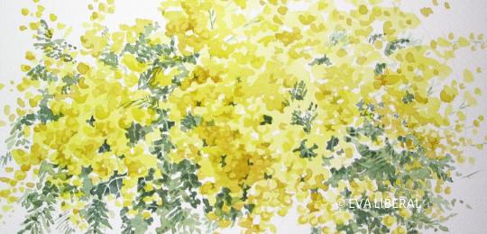 Mimosas Acuarelas de Flores Eva Liberal